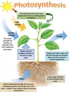 photosynthesis-process